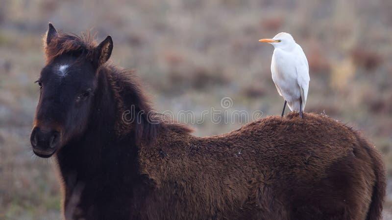 Egret скотин на лошади стоковое фото rf