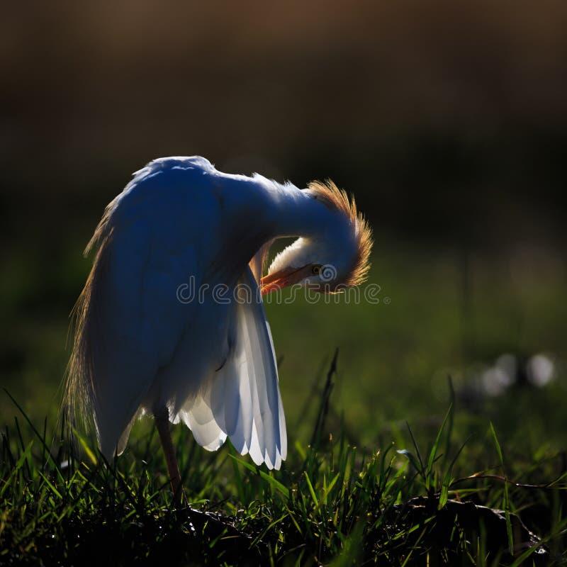 Egret скотин прихорашиваясь с backlight стоковое изображение rf