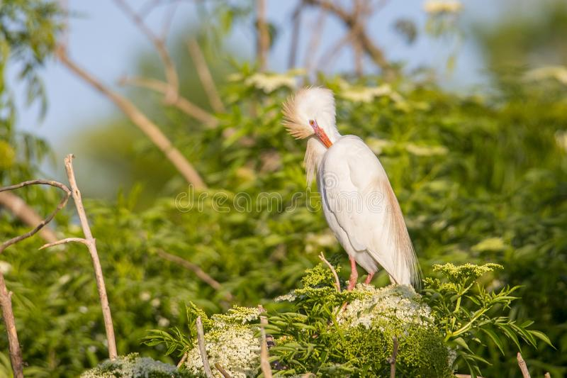 Egret скотин прихорашиваясь стоковые фотографии rf