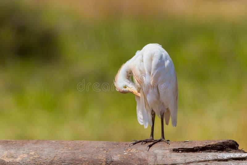 Egret скотин, прихорашиваясь стоковое изображение rf