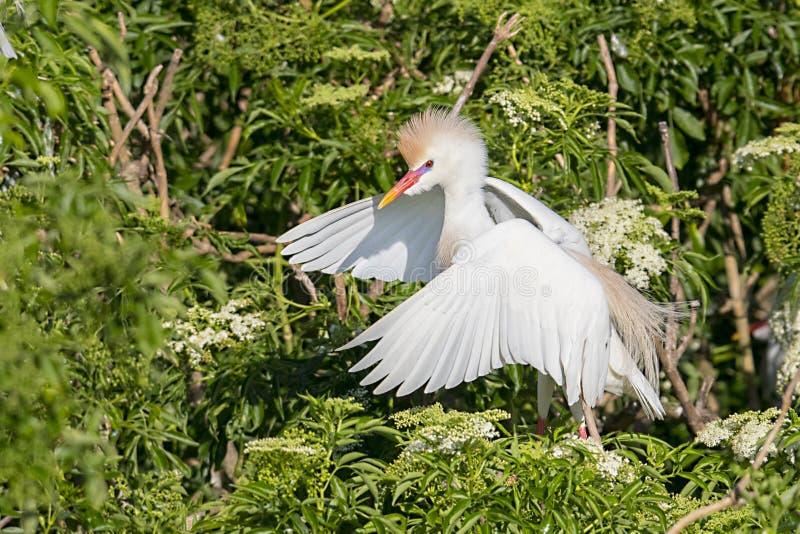 Egret скотин сам делая большим для того чтобы показать свое засилье стоковые фото