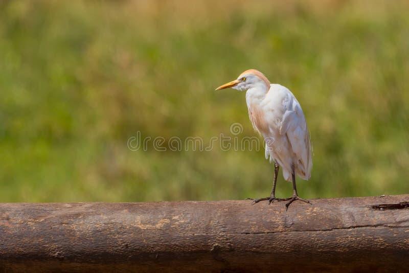 Egret скотин стоя на упаденном журнале стоковые фото
