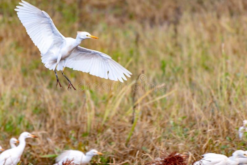Egret скотин с грязными ногами стоковое изображение rf