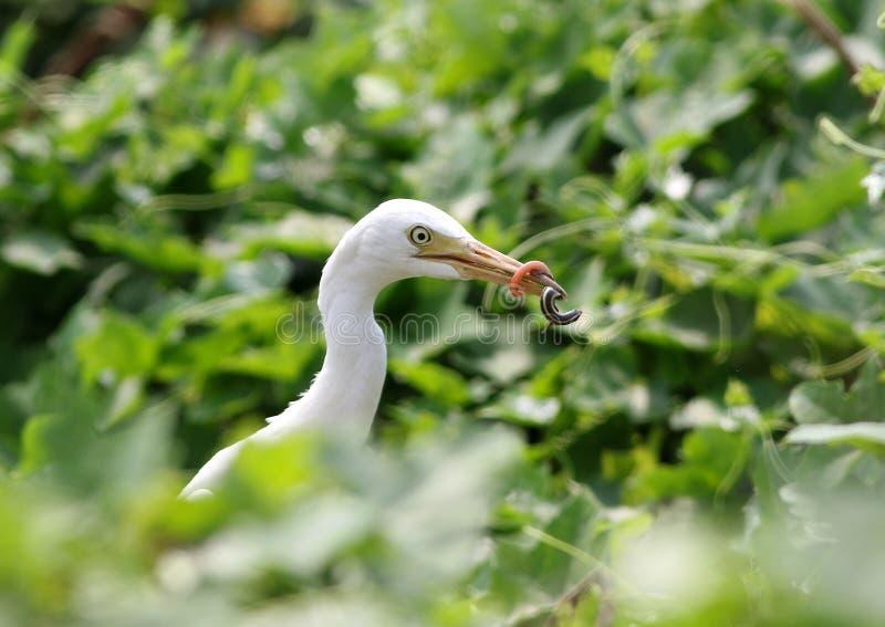 Egret скотин с задвижкой стоковая фотография
