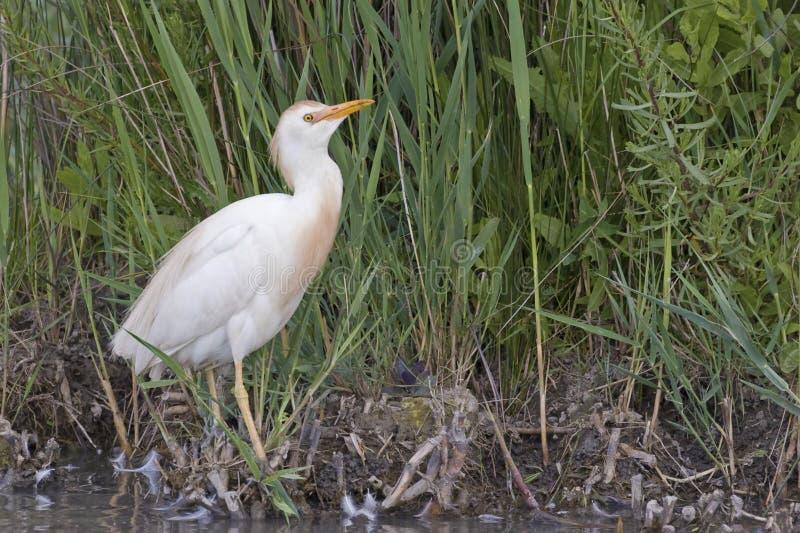 Egret скотин, Bubulcus ibis, в болоте стоковые изображения