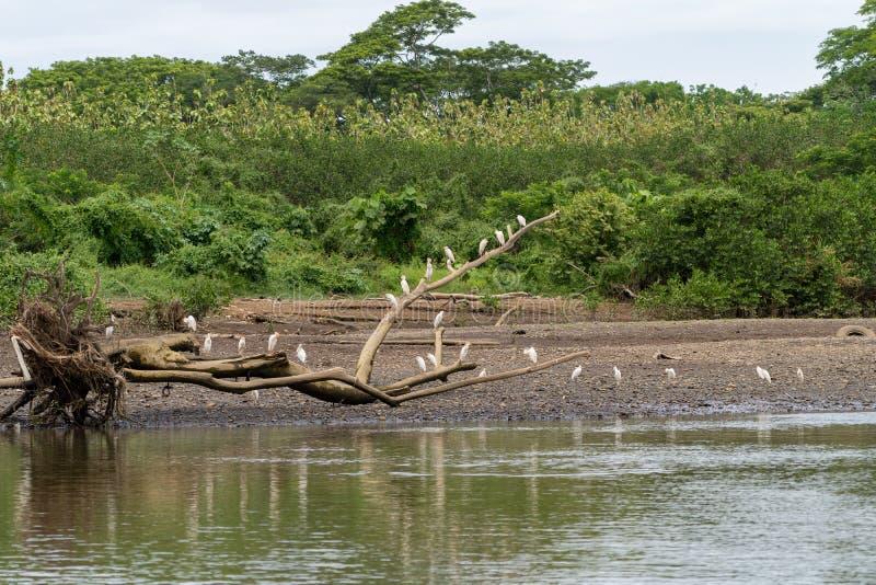 Egret скотин ( Bubulcus ibis) в Коста-Рика стоковое фото rf