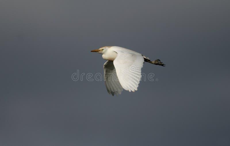 Download Egret скотин, Bubulcus Ibis Стоковое Изображение - изображение насчитывающей ibis, летание: 33738399
