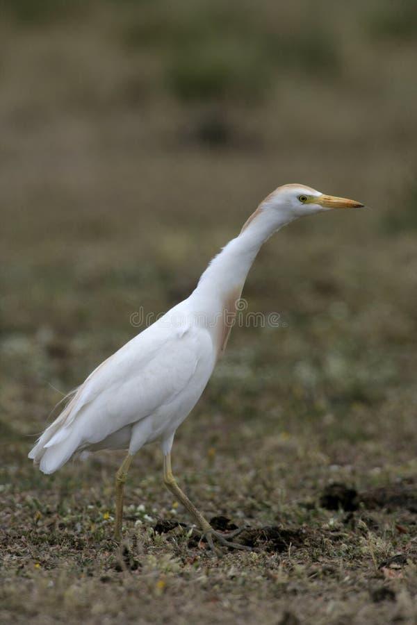 Download Egret скотин, Bubulcus Ibis Стоковое Изображение - изображение насчитывающей биографической, европа: 33738433