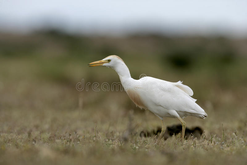 Download Egret скотин, Bubulcus Ibis Стоковое Изображение - изображение насчитывающей скотины, кран: 33738445
