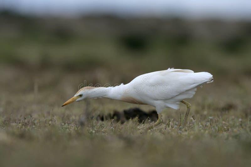 Download Egret скотин, Bubulcus Ibis Стоковое Изображение - изображение насчитывающей европа, цапля: 33738449