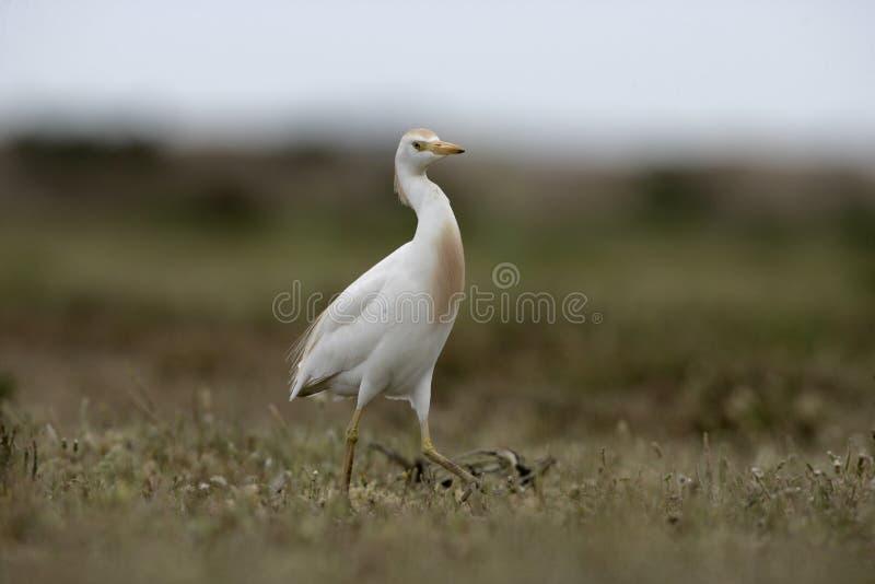 Download Egret скотин, Bubulcus Ibis Стоковое Изображение - изображение насчитывающей злаковик, аист: 33738473