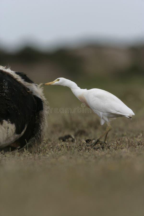 Download Egret скотин, Bubulcus Ibis Стоковое Изображение - изображение насчитывающей shorebird, природа: 33738487