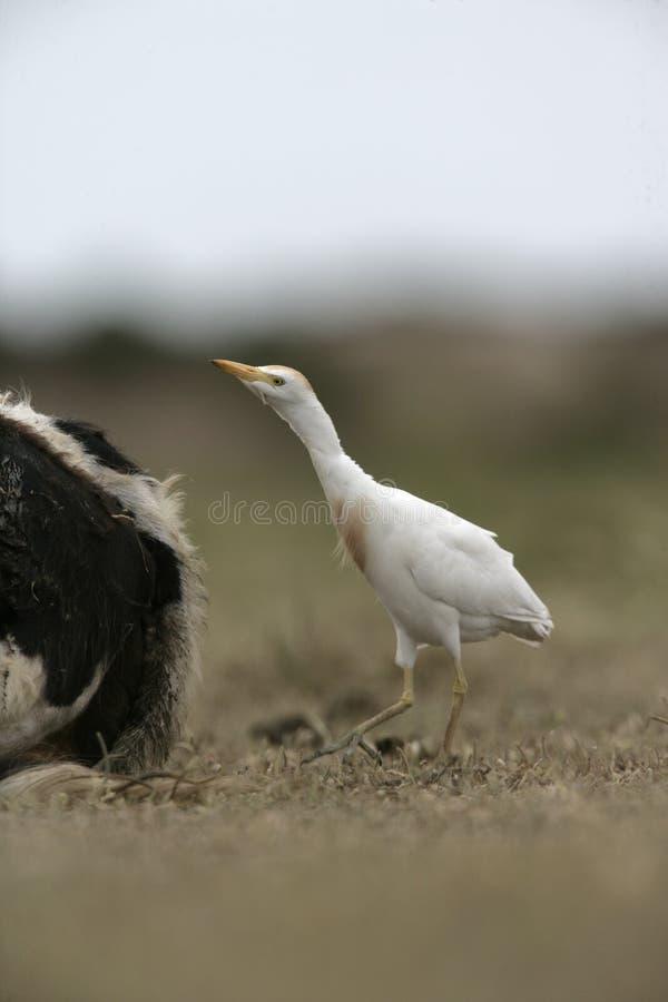 Download Egret скотин, Bubulcus Ibis Стоковое Изображение - изображение насчитывающей перо, европа: 33738515
