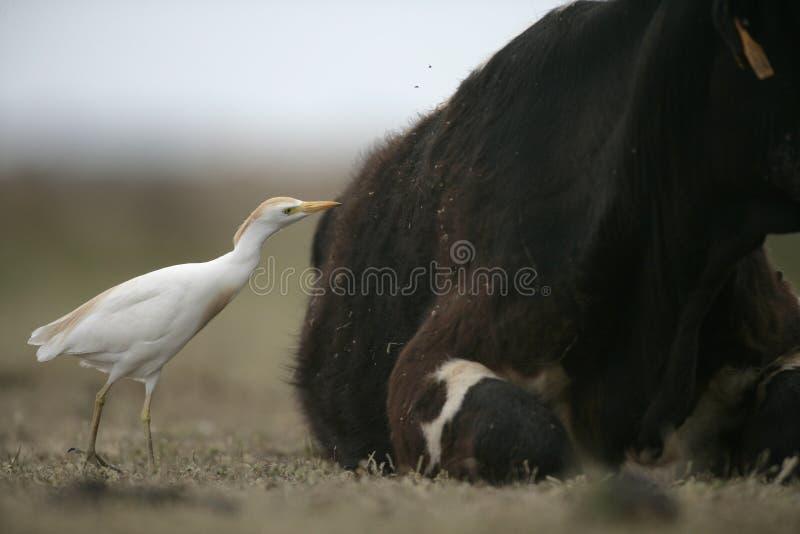 Download Egret скотин, Bubulcus Ibis Стоковое Фото - изображение насчитывающей кран, европа: 33738542
