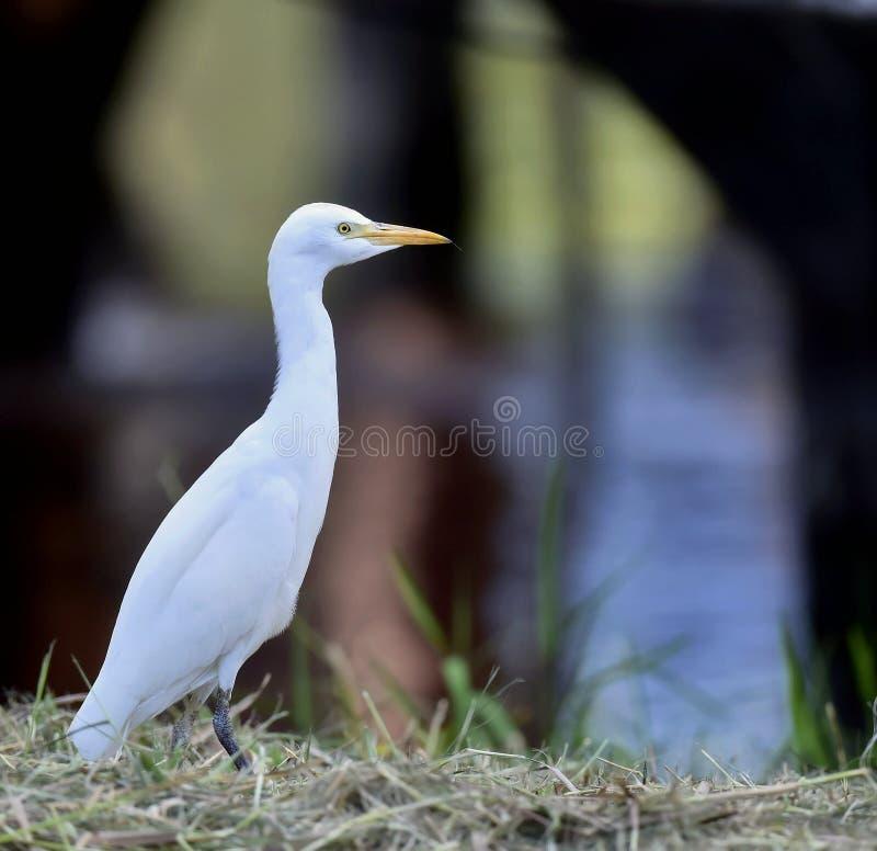 Egret скотин (Bubulcus ibis) стоковое фото rf