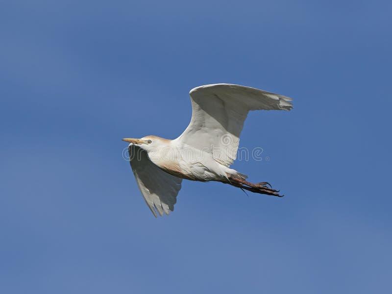 egret скотин ibis bubulcus стоковая фотография