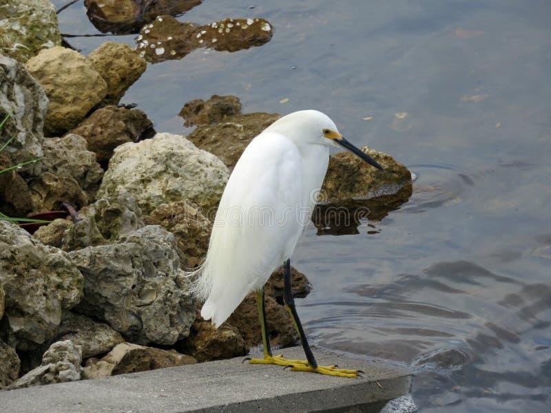 Egret снега стоковые фотографии rf