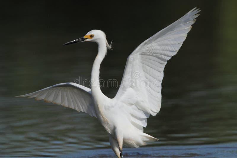 egret снежный стоковые изображения