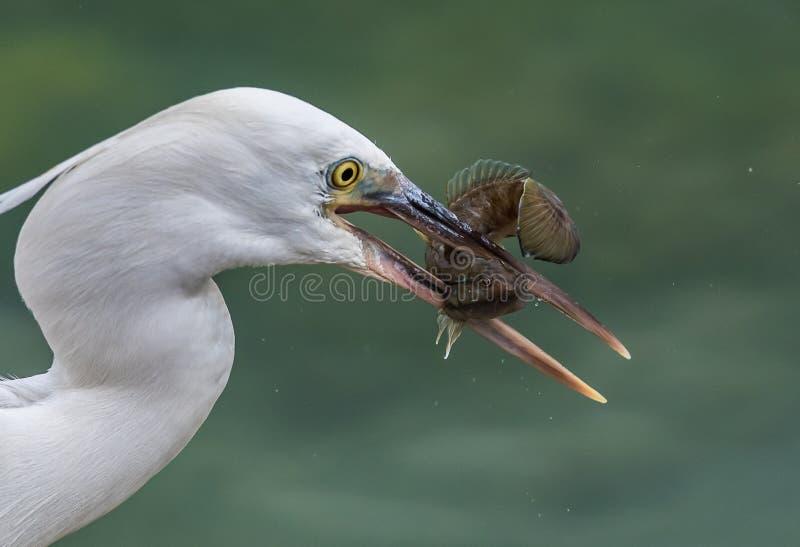 Egret с задвижкой! стоковые фотографии rf