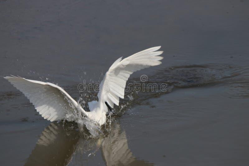 egret fotografie stock