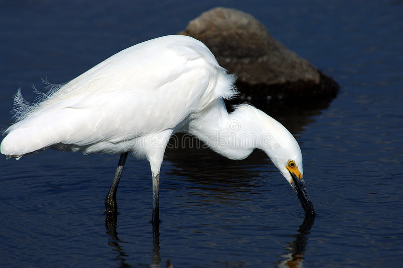 Egret. Beautiful Snowy Egret in breeding plumage wades through the shallows as it stalks its dinner stock images