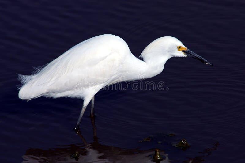 Download Egret imagem de stock. Imagem de egret, pena, pesca, wade - 111475