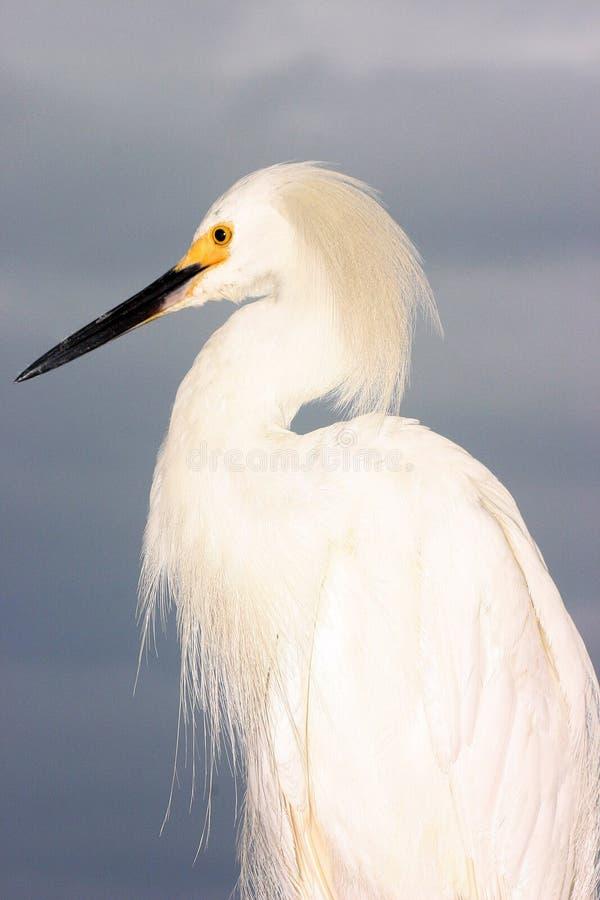Download Egret obraz stock. Obraz złożonej z zatoka, wybrzeże, florida - 128775