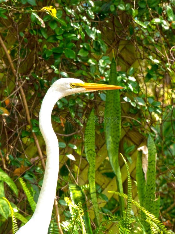 Egret 1-1 fotografia de stock