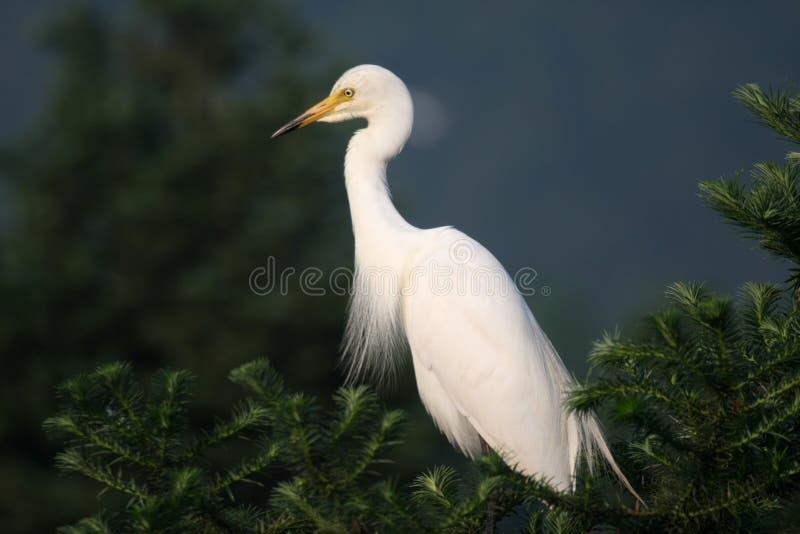 Egret immagine stock libera da diritti
