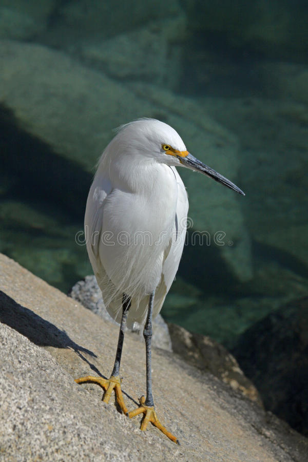 Download Egret stock photo. Image of pose, looking, feathers, food - 17996582