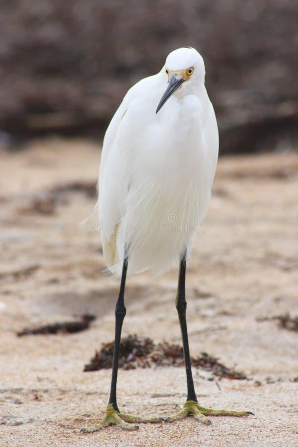 Egret stock photography