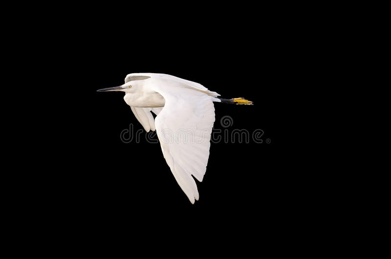 Download Egret stock photo. Image of outdoors, balan, head, egretta - 24485300