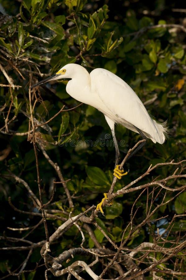 Egret obrazy royalty free