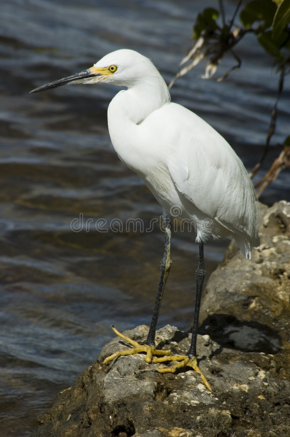 Download Egret stock photo. Image of pose, bird, single, portrait - 267652