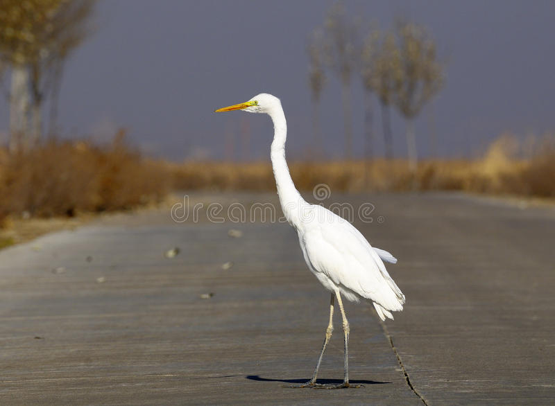 Egret royaltyfri fotografi