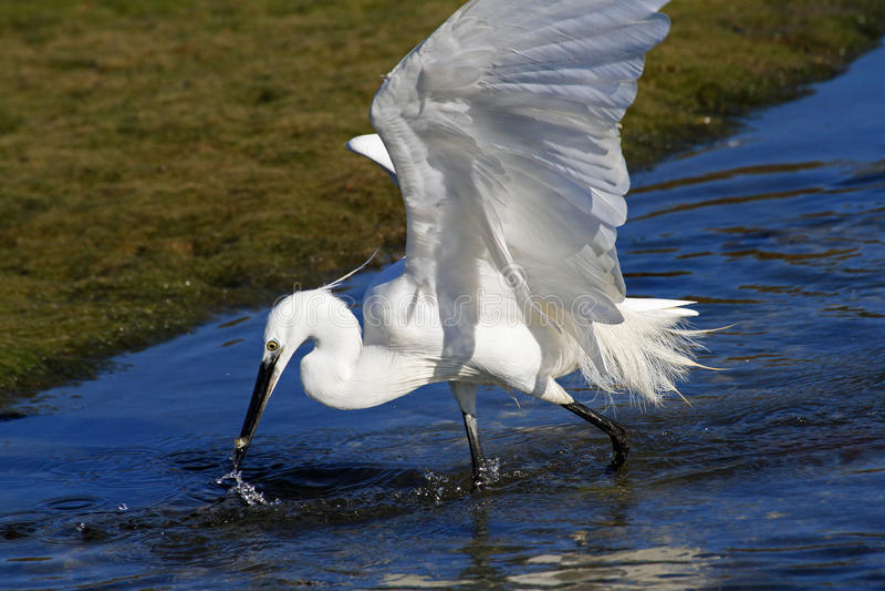 Egret obraz stock