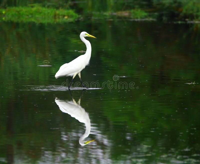 Download Egret stock photo. Image of flying, aves, feather, albus - 3104684