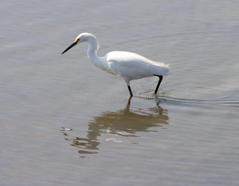 Egret fotos de stock