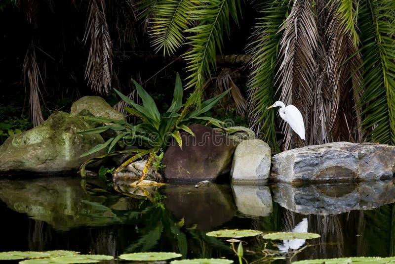 egret zdjęcie royalty free