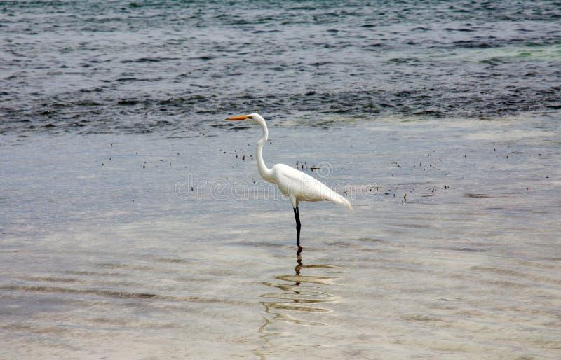 Egret стоковая фотография rf