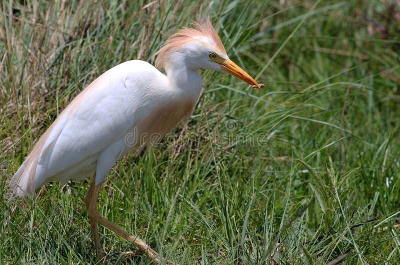 Egret стоковые фото