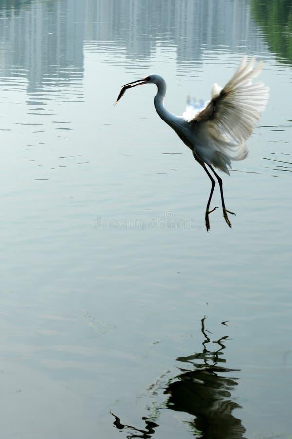 egret royaltyfria bilder