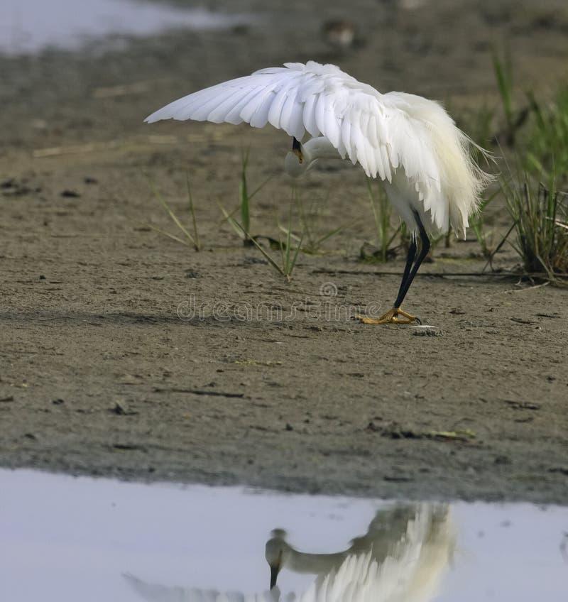 egret stock foto