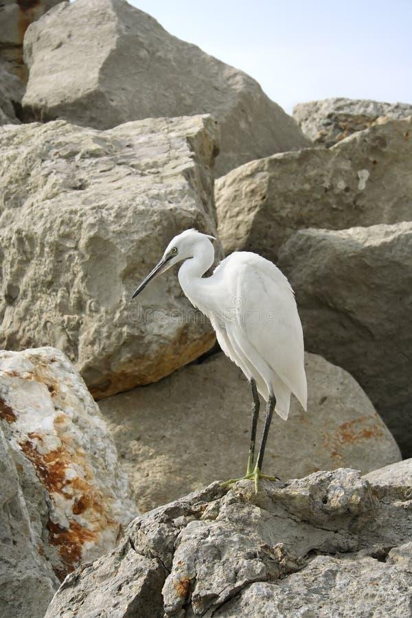 Egret. stock photography