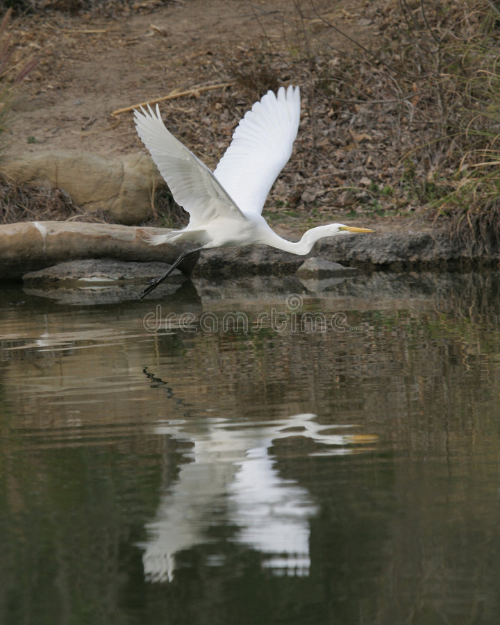 Download Egret stock photo. Image of flight, pond, wings, large - 4872532