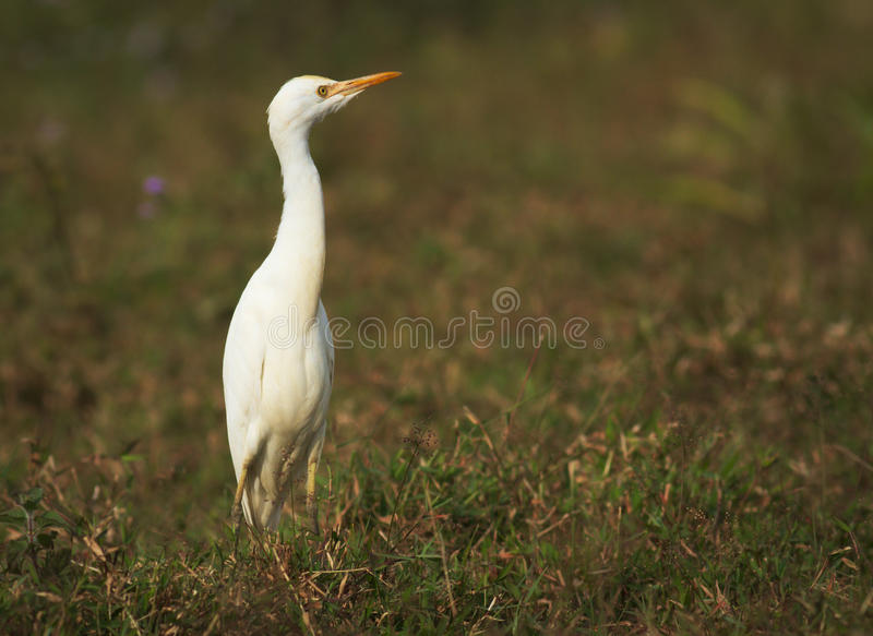 egret royalty-vrije stock afbeeldingen
