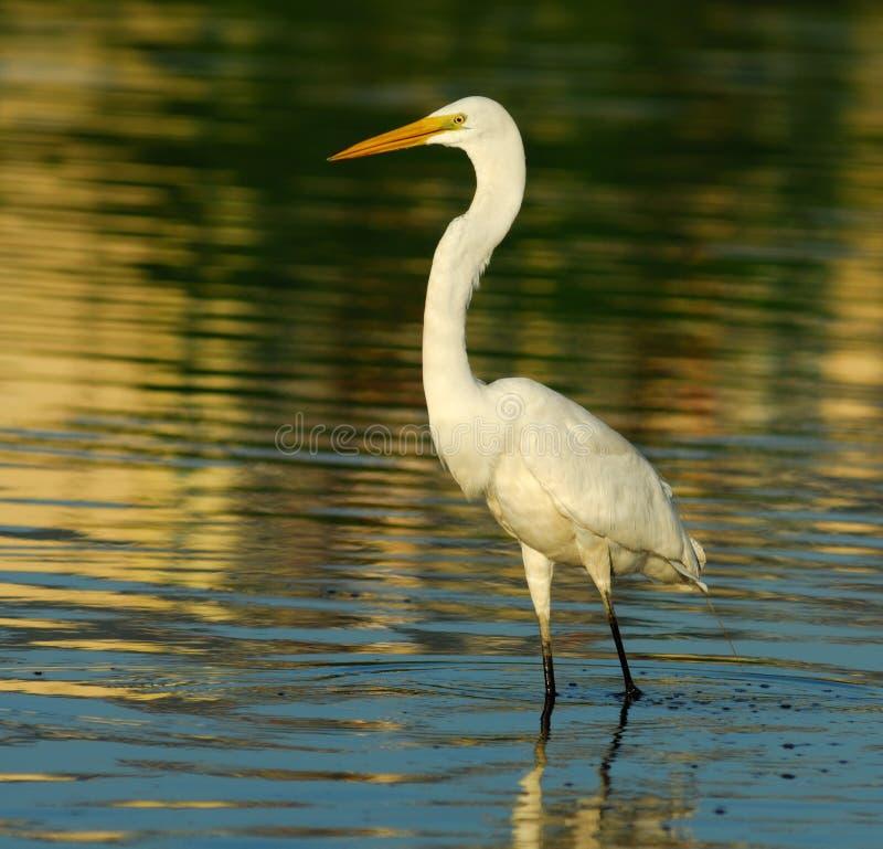 Egret fotografia stock