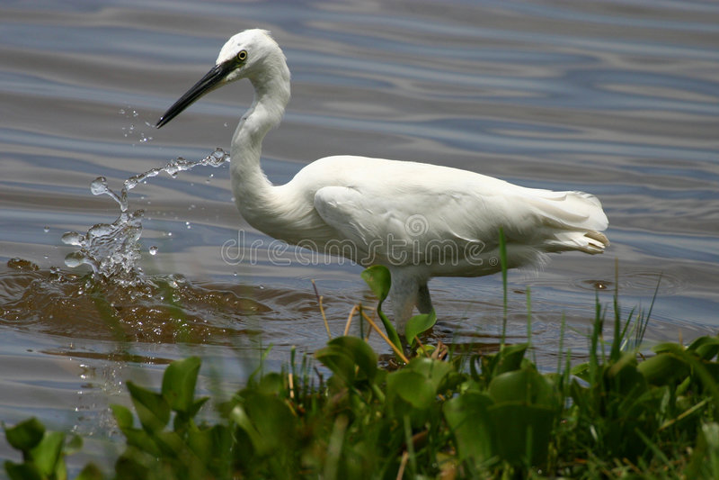 Egret imagem de stock royalty free