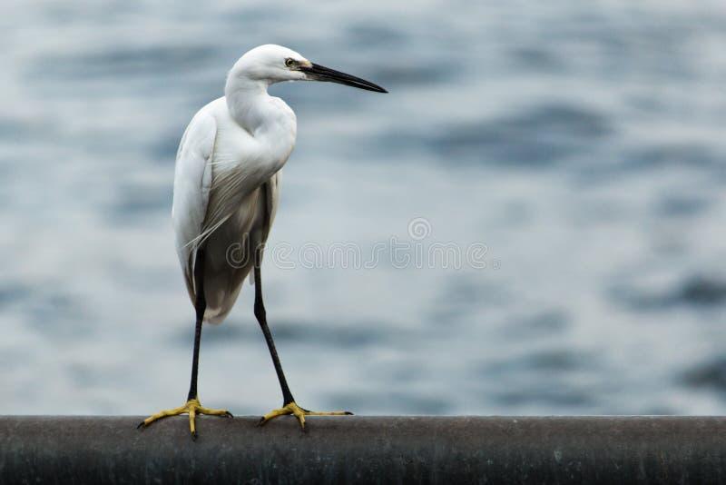 egret стоковое изображение rf