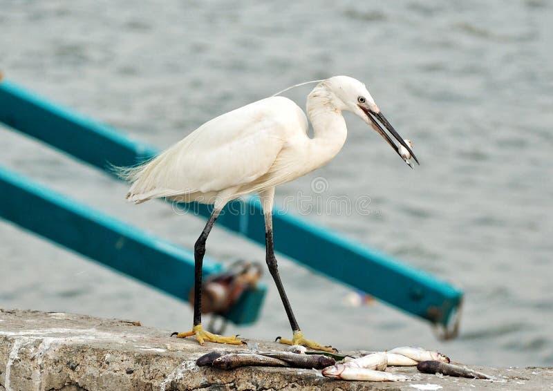 egret foto de archivo libre de regalías